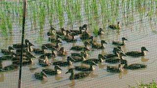 合鴨農法.jpg